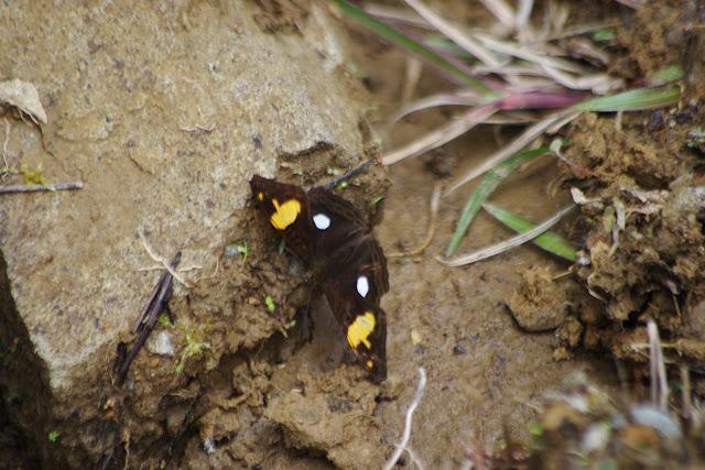 Adelpha justinia justinia (FELDER & FELDER, 1861). Piste de Gualchan à Chical, 2200 m (Carchi, Équateur), 22 novembre 2013. Photo : J.-M. Gayman