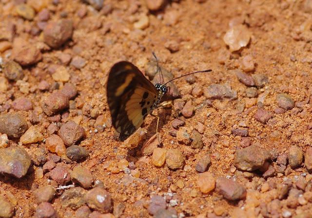 Acraea bonasia bonasia FABRICIUS, 1775, mâle. Piste d'Ebogo, Cameroun, 8 avril 2012. Photo : J.-M. Gayman