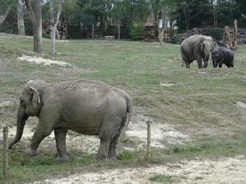 2018.08.25-018 éléphants d'Asie