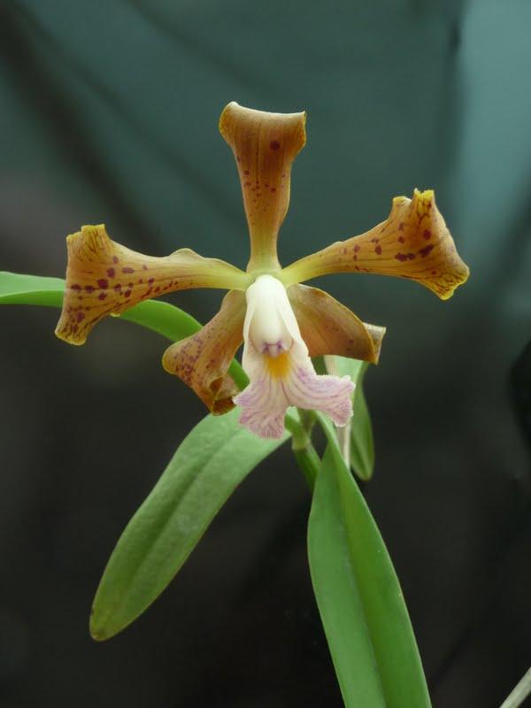 Cattleya velutina P1170082