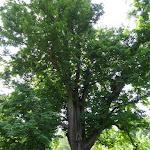 Parc de la Maison de Chateaubriand : marronnier commun planté par Chateaubriand