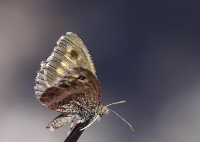 Arethusana arethusa (DENIS & SCHIFFERMÜLLER, 1775), mâle. Tras le Mont, 820 m, Cocurès (Lozère), 10 août 2013. Photo : J.-M. Gayman