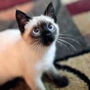 сонник кот