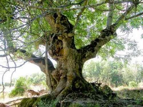 Ash Tree Lore