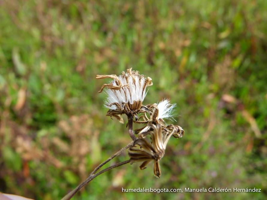 La margarita de pantano especie end mica de los humedales for Jardin unal 2016