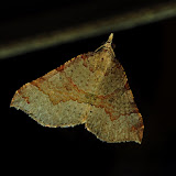 Geometridae : Larentiinae : Hydriomenini : Anachloris uncinata GUÉNÉE, 1858. Umina Beach (NSW, Australie), 20 octobre 2011. Photo : Barbara Kedzierski
