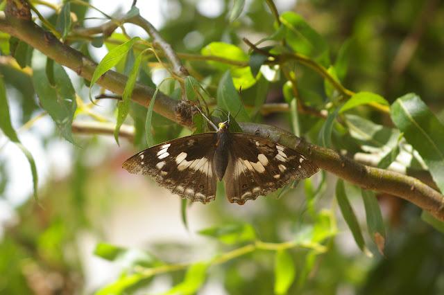 Apatura ilia yunnana MELL, 1952, femelle (2500 m). Baisha (Nord de Lijiang, Yunnan), 18 août 2010. Photo : J.-M. Gayman