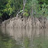 Mangrove sur l'Approuague, près de Régina. 19 novembre 2011. Photo : J.-M. Gayman