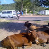 We share Botswana with cows, donkeys and goats