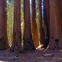 sequoia_17
