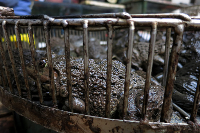 Toads for sale, Dong Xuan market