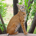 """The """"Bobcat"""" piece from the """"2015"""" collection"""