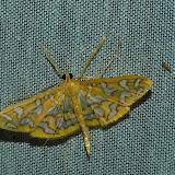 Crambidae : Pyraustinae : Nausinoe pueritia CRAMER, [1870]. Umina Beach (N. S. W., Australie), 25 décembre 2011. Photo : Barbara Kedzierski