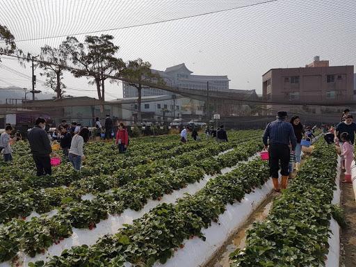 Strawberry Farm in Taichung Taiwan