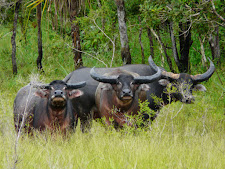 wildlife-water-buffalo-14.jpg