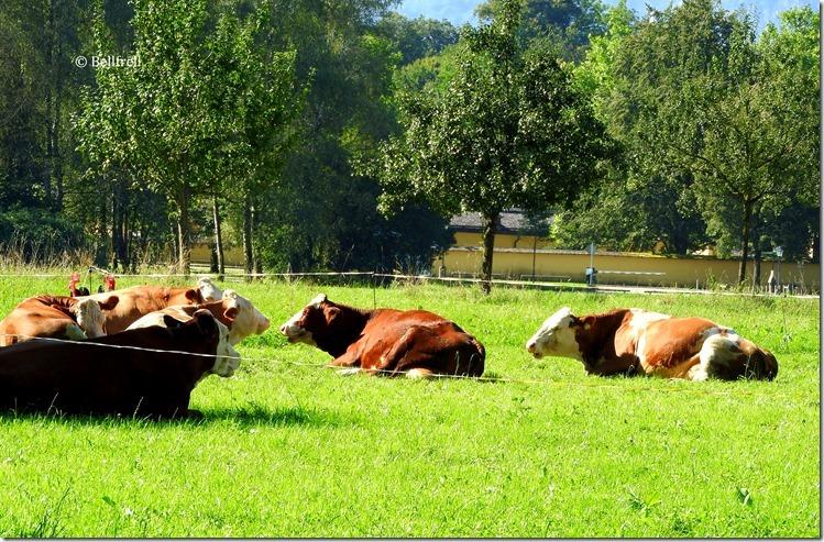 Kühe Versammlung