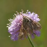 Noctuidae : Plusiinae : Autographa gamma (LINNAEUS, 1758). Les Hautes-Lisières (Rouvres, 28), 29 juin 2011. Photo : J.-M. Gayman