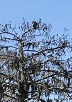 Yep, pretty sure it's an Eagle