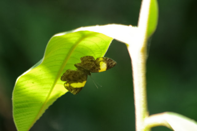 Hypophylla argenissa (STOLL, 1790), femelle. Tunda Loma (Calderon, San Lorenzo, Esmeraldas), 30 novembre 2013. Photo : J.-M. Gayman