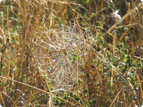 10a Spider Webs in Dew (3)