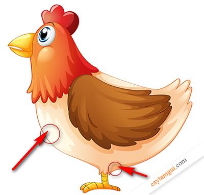 Hướng dẫn vị trí các đường tiêm và cách tự chích thuốc cho gà