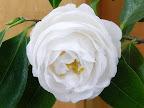 白色 八重〜唐子咲き 大〜極大輪