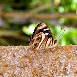 Dynamine postverta postverta (CRAMER, 1779), mâle. Pitangui (MG, Brésil), 22 avril 2011. Photo : Nicodemos Rosa