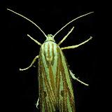 Xyloryctidae : Xylorycta austera T.P. LUCAS, 1898. Umina Beach (N. S. W., Australie), 6 décembre 2011. Photo : Barbara Kedzierski