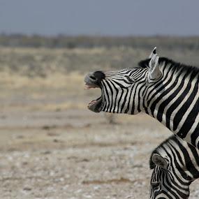 Zebra by Ada Louw - Animals Other