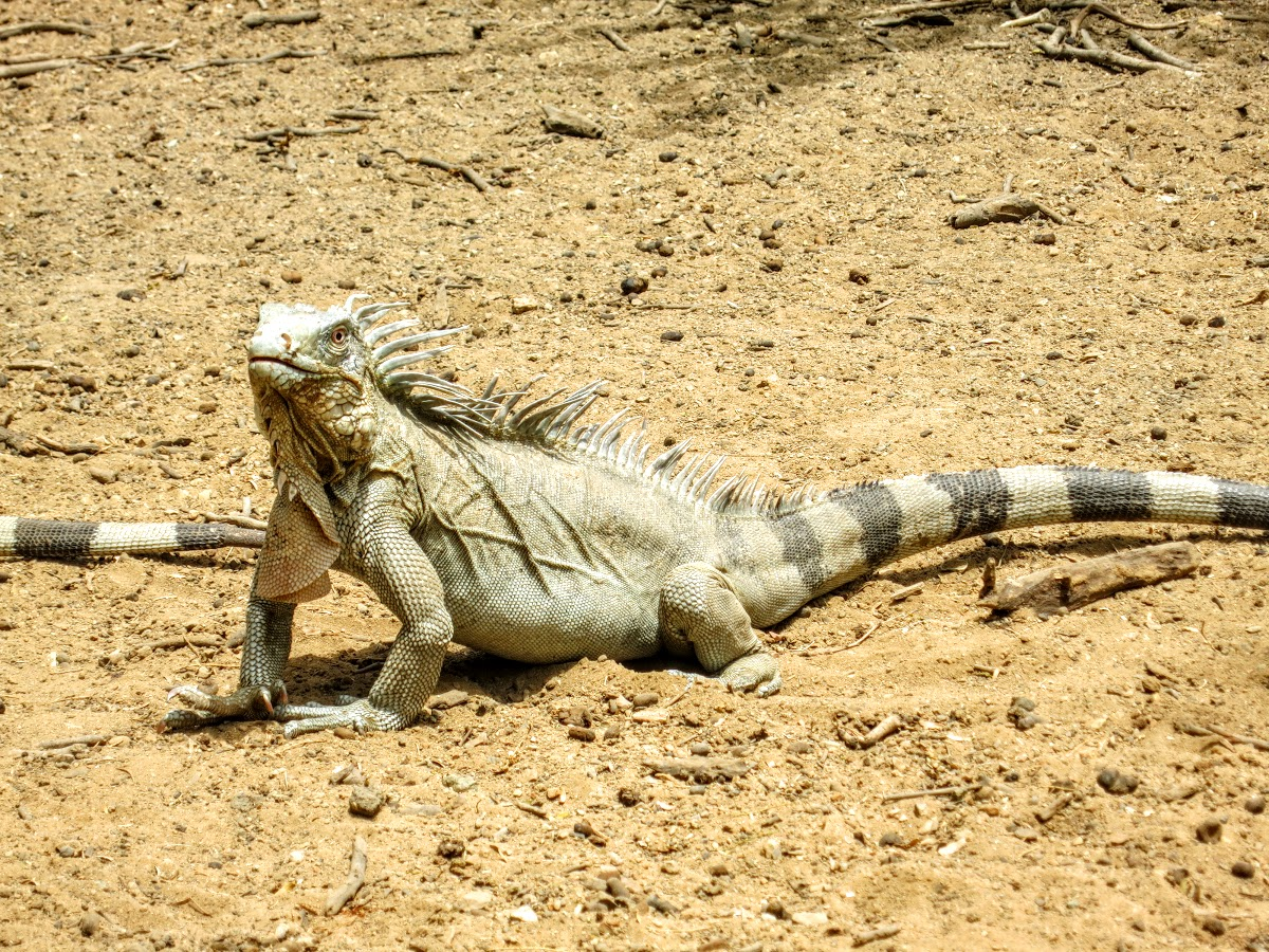 Iguana on the loose in Bonaire!