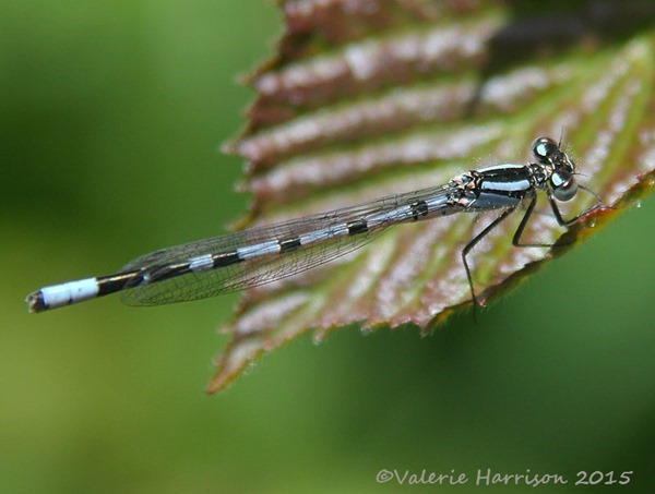blue-damselfly