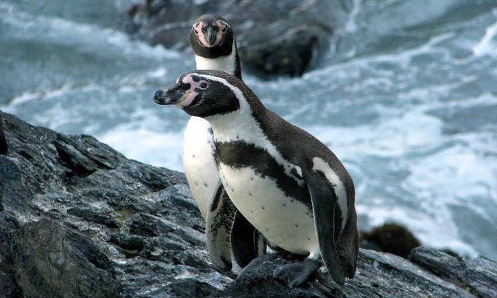 Humboldt Penguin, by Jorge Novoa.