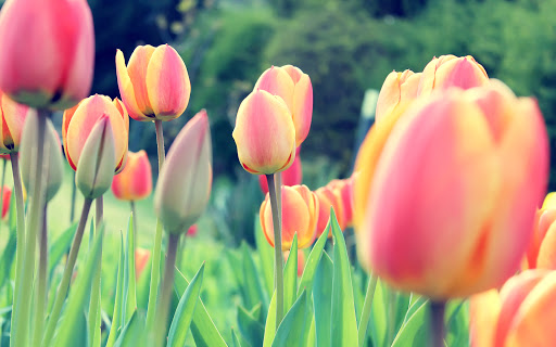 Red Easter Tulips