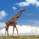 giraffe-wallpaper.jpg