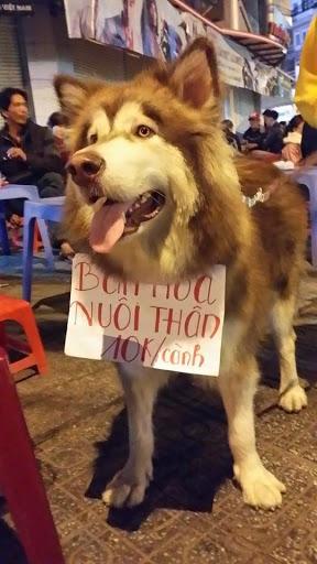 Một chú chó alaska nâu đỏ đang bán hoa