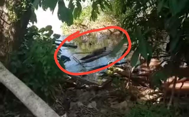 Waspada! Buaya Bermunculan Tiap Hari di Bantaran Sungai di Desa Buntoi