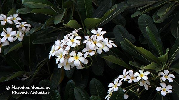 Flower: White Plumeria AKA White Frangipani, Champa, Gulchin, Khagi-leihao, Kathgolop [Plumeria alba of Apocynaceae AKA Oleander family]