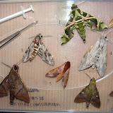 Macroglossinae : 1. Daphnis nerii (L., 1758). 2. Hippotion balsaminae (WALKER, 1856). 7. Nephele comma HOPFFER, 1857. Sphinginae : 3. Agrius convolvuli (L., 1758). Boabeng Fiema (Nkoranza, Brong-Ahafo Region, Ghana), 9 décembre 2013. Photo : J.-F. Christensen