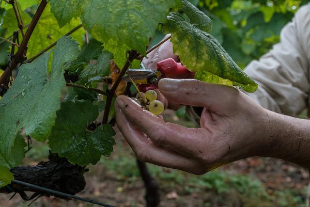Petites vendanges 2017 du chardonnay gelé. guimbelot.com - 2017-09-30%2Bvendanges%2BGuimbelot%2Bchardonay-117.jpg