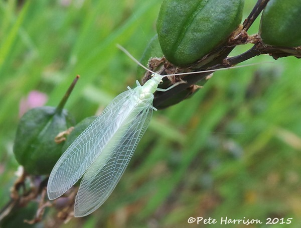Lacewing-5