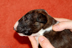 Brindle girl 1 - 3 weeks old