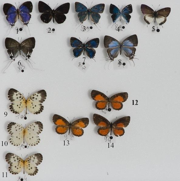 Quelques Lycaenidae d'Ebogo (avril 2013). 1. Oxylides faunus camerunica. 2. Liptena despecta. 3. Hypolycaena naara. 4. H. dubia. 5. Phlyaria cyara cyara. 6. Hypolycaena nigra. 7. Paradendorix nyanzana. 8. Iolaus gemmarius. 9 & 11. Pentila camerunica. 10. P. maculata pardalena. 12, 13 & 14. Mimeresia libentina. Coll. et photo : C. Basset
