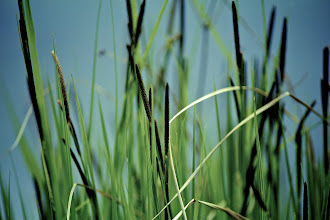 Photo: Cattails  I'm halfway through my #365project curated by +Susan Porter and +Simon Kitcher