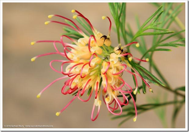161115_FY_Grevillea-Flora-Mason_008