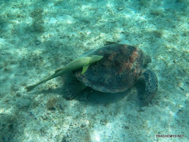 Tortues marines à Mayotte DSCN1415