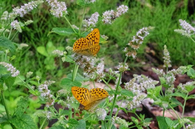 Argynnis paphia (L., 1758), mâles. Chemin La Rodé (620 m), Cocurès (Lozère, France), 2 août 2014. Photo : J.-M. Gayman