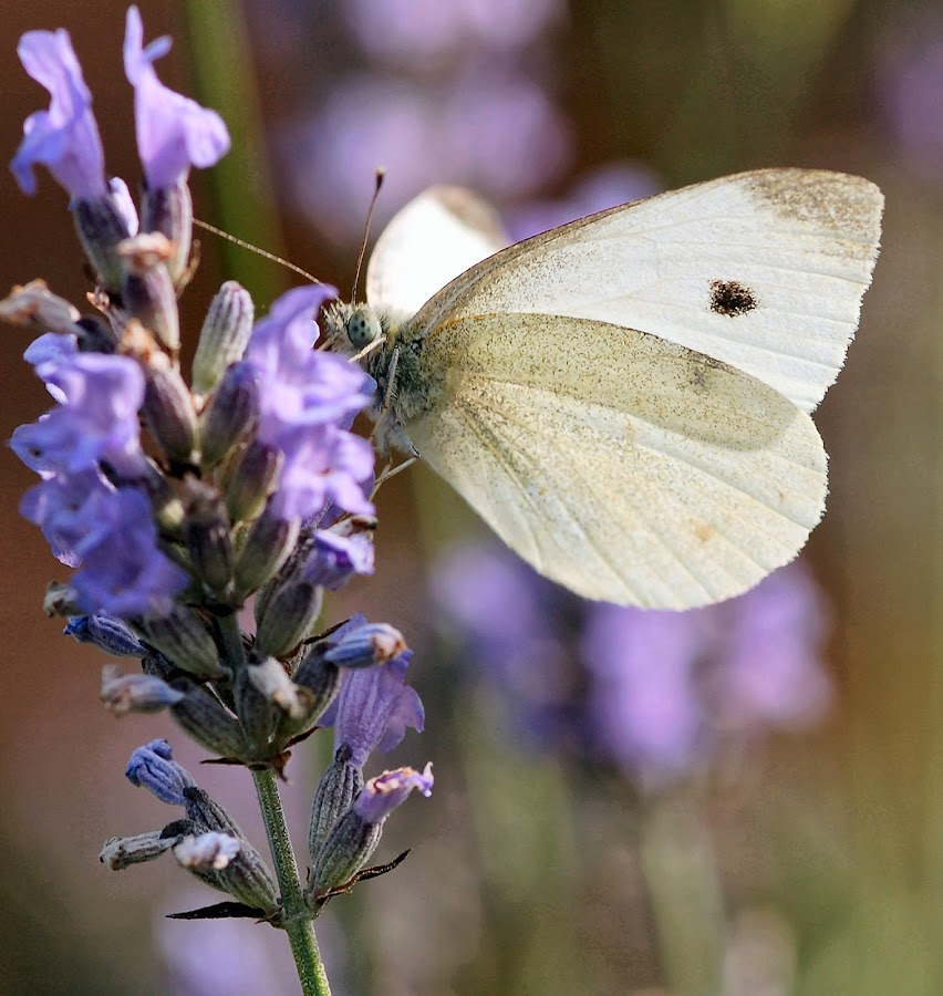 Cabbage White by Bob White - Animals Other ( butterfly, butterflies, white, lavender, insect,  )