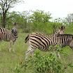 2012-11-18 11-56 Park Krugera - zebry.JPG
