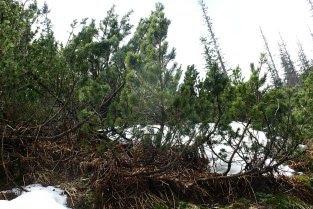 kosodrzewina, sosna górska Pinus mugo