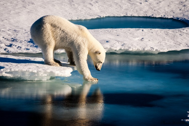 A polar bear tests the strength of thin sea ice. Photo: Mario Hoppmann / imaggeo.egu.eu